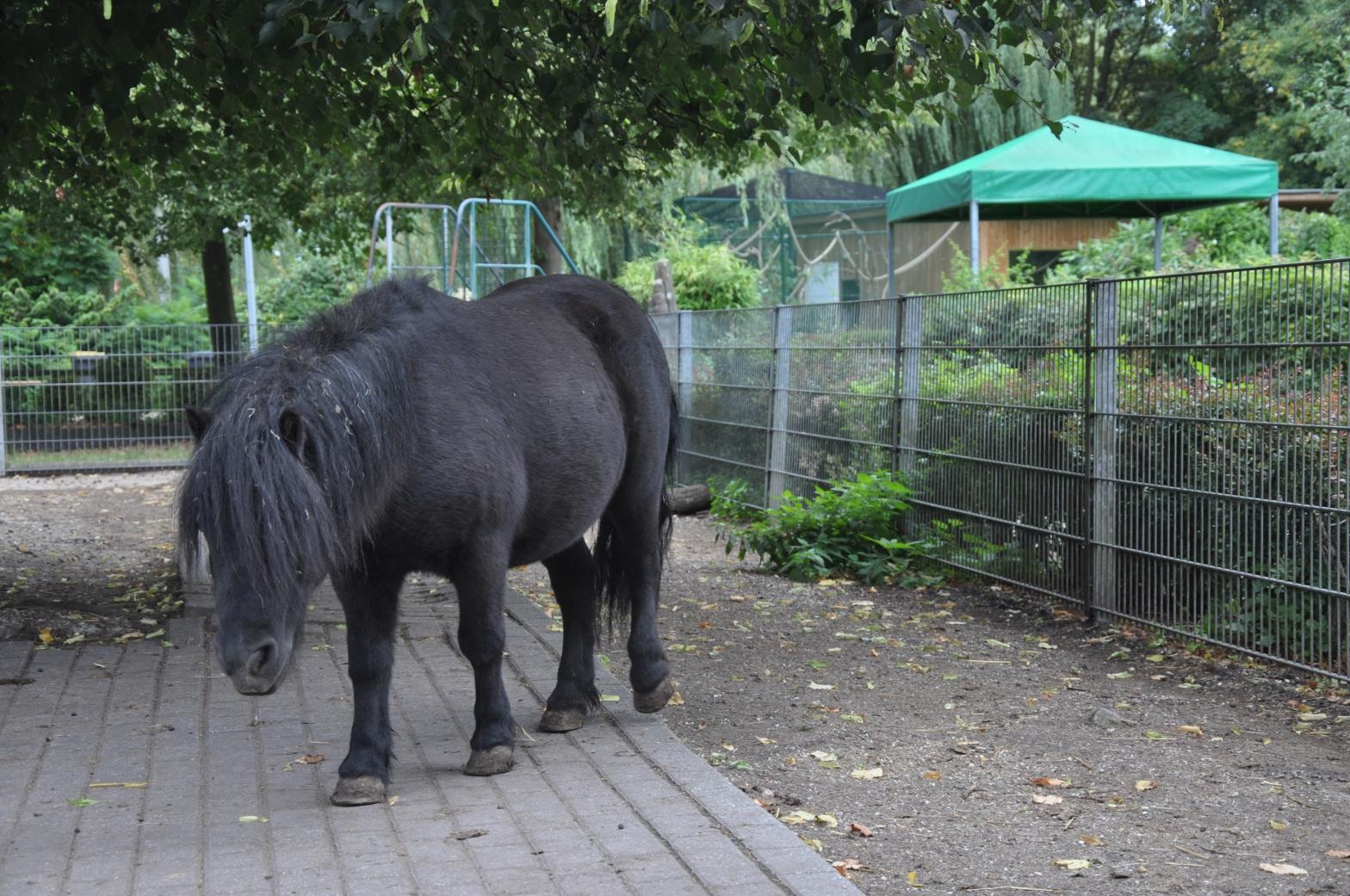 Das Bild zeigt unser Patentier, den Schetlandhengst Little Joe im Tiergarten Kleve.
